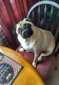 """Whaddya mean I just ate?""  facebook.com/sodoggonefunny #pug"