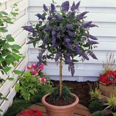 44 Best Shrubs for Containers Buddleia in a pot. Also known as Butterfly Bush. Can be frown in both temperate and tropical zones. Wooly Butterfly bush grows well in the tropics. Dwarf Trees, Trees And Shrubs, Flowering Trees, Garden Shrubs, Patio Plants, Garden Pots, Potted Trees Patio, Potted Garden, Container Plants