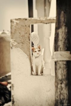 Cat in Santorini, Greece I Love Cats, Big Cats, Cool Cats, Kittens Cutest, Cats And Kittens, Cat City, Alley Cat, Santorini Greece, Santorini Island