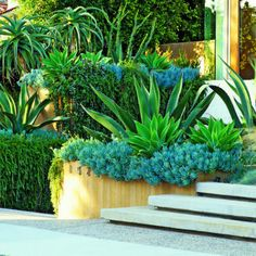 A. americana accents a planting of blue Senecio mandraliscae that tumbles over a wall, as aloes and rosemary 'Severn Sea' grow behind.