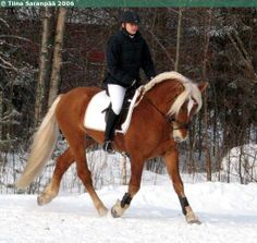 Finnhorse stallion Tosi-Romeo Palomino, Rare Horse Breeds, Rare Horses, Mane N Tail, English Riding, Iron Age, Mundo Animal, Horse Pictures, Funny Tweets