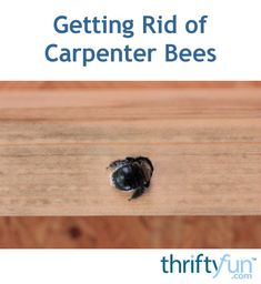 Carpenter bees will attack the wood trim and porches around your home making holes and tunnels for nesting. This is a guide about getting rid of carpenter bees. Wood Boring Bees, Wood Bees, Backyard Projects, Outdoor Projects, Garden Projects, Backyard Ideas, Garden Ideas, Keep Bees Away, Getting Rid Of Bees