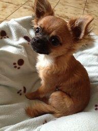 Chihuahua Harybo en mode beau gosse !