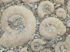 Ammonites spirals