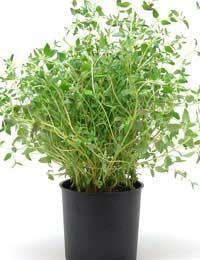 Growing Thyme Thyme Lawn Caring For