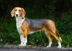 Deutsche Bracke, German Hound Dog cousin to the dachshund Hound Dog Breeds, Every Dog Breed, Dog List, Bloodhound, Hunting Dogs, Little Dogs, Dachshund, Best Dogs, Animal Pictures