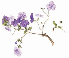 Brunfelsia uniflora - Manacá de cheiro
