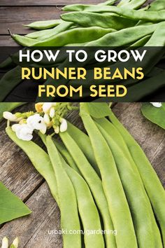 This Video will be showing how to grow Runner Beans. They are easy to grow in a small space garden, patio, or vertically. Runner beans need to be started slightly later. I will include temperatures, growing mediums, containers, Trellis, and the best way to grow healthy plants as well as including many different varieties you buy online using the links below. #urbakigardening #gardening #runnerbeans #growbeans #plantcontainer #beans