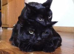 Image result for black cat with heterochromia