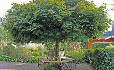 schattenspendende b ume im garten pflanzen garten pinterest. Black Bedroom Furniture Sets. Home Design Ideas