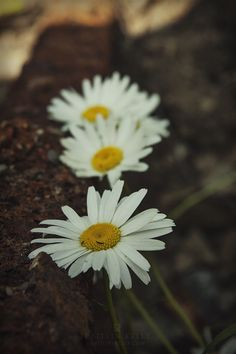 Daisies on an abandoned railroad track.