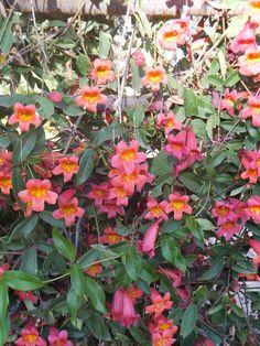 Crossvine-Desert Botanical Garden Center for Desert Living Trail