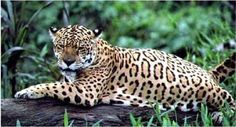 This feline is a native species to Guyana.