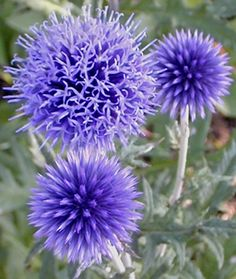 Globe Thistle Bees and butterflies adore Echinops. They are so easy to care for that you will too. Equally stunning in the garden or as a fresh or dried cu Porch Garden, Garden Plants, Patio, Growing Flowers, Cut Flowers, Blue Geranium, I Love Bees, California Garden, Farm Gardens