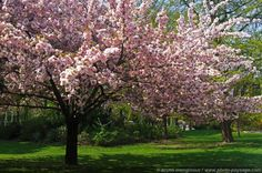 A taste of spring colors with pretty trees in flower -2 -     Tree in bloom shot in Paris, France
