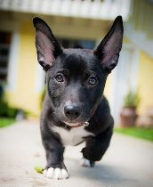 OMG... Looks like Shorty with stand up ears... I want him!!!