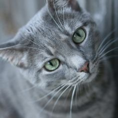 Pretty gray kitty cat
