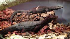 Southeast Asian Water Monitor (Varanus salvator macromaculatus (=komaini))