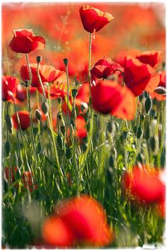 Poppies by Fulvio Fusani on 500px