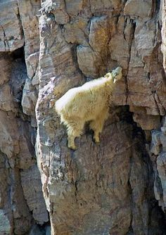 Mountain goats, actually not true goats but close relatives, climb the very steep and rocky slopes to feed on any grass, shrub or tree they ...