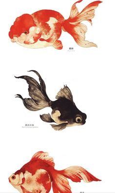 20 Types of Goldfish for Aquarium (Oranda, Shubunkin, Bubble Eye, Etc) Fish Drawings, Animal Drawings, Art Drawings, Watercolor Fish, Watercolor Animals, Watercolor Paintings, Goldfish Tattoo, Goldfish Types, Golden Fish