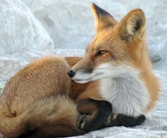 Amazing Photos of Foxes by Mary Lee Agnew - The Photo Argus Fantastic Fox, The Sky Is Falling, Fox Images, Mary Lee, Fox Pictures, Dog Poses, Pose Reference Photo, Interesting Animals, Wild Creatures