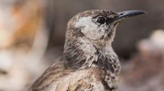 "In traveling to the Galapagos Islands on ""The Wonder List,"" Bill Weir visits with the Floriana Mockingbird, one of the rarest birds in the world"