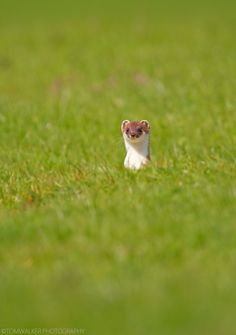 """The stoat (Mustela erminea), also known as the ermine or short-tailed weasel, is a species of Mustelidae native to Eurasia and North America, distinguished from the least weasel by its larger size and longer tail with a prominent black tip. In New Zealand, it is held responsible for declines in native bird populations. It is nominated among the 100 """"world's worst invasive species""""."""