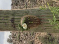 Saguaro cactus bloom near Bagdad, AZ   I miss these