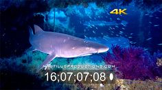 New Nautilus 4K UHD Stock Footage! Nautilus Productions LLC has added new sample 4K video clips of North Carolina Sand Tiger sharks and marine life to our YouTube channel. https://www.youtube.com/playlist?list=PLkLgCneHO-s-3PuuIedD2bXO81DwtvhFZ  #NautilusProductions #StockFootage #Sharks #Shipwreck #4K #SandTiger #BFDC #Carchariastaurus #NCFilm #Frogfish #Lionfish #Remora #Stingray