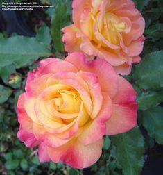 PlantFiles Pictures: Floribunda Rose 'Rainbow Sorbet' (Rosa) by ...