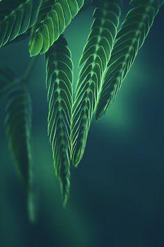 ~~Green time | Silk Tree macro | by Manabu Oda~~