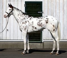BUCHIKO- causing a lot of interest in Japan racing because of its unique patterned coat. Probably a leopard horse---they are calling White. #horses