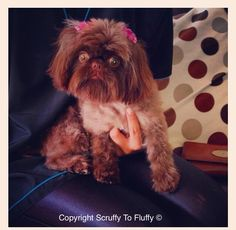 This is Coco-Pops the imperial shih tzu she's a very tiny but very noisy little girl