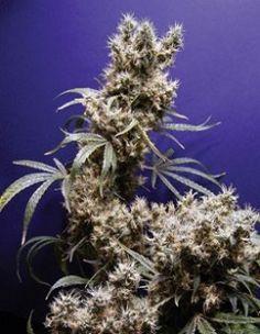 Purple Kush http://www.growingmarijuanaebook.com/