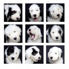"Born to Momma Holly, aka ""Hollywood,"" these Old English Sheepdogs are famous for being adorable."