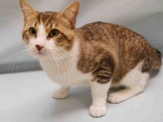 STATEN ISLAND CENTER (Formerly in Manhattan Center)  SILVER  – A1081928  MALE, BRN TABBY / WHITE, DOMESTIC SH,1 yr OWNER SUR – AVAILABLE, NO HOLD Reason ALLERGIES Intake condition UNSPECIFIE Intake Date 07/19/2016, From NY 10454, DueOut Date 07/19/2016,