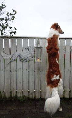 """Where's that cat?"" #dogs #pets #Borzois facebook.com/sodoggonefunny"