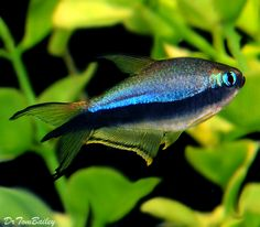 A beautiful Black Emperor Tetra from the Amazon Rainforest that now lives in one of our planted aquariums. To see more click on ... http://www.AquariumFish.net/catalog_pages/tetras/tetras.htm#4343