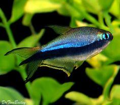 Rummynose Rasbora Freshwater Fish #1: 6643f7479a f53cf7ced333c220c