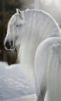 Andalusian Horse Everything You Need to Know The Andalusian Horse Everything You Need to Know!The Andalusian Horse Everything You Need to Know! Horse Mane, Andalusian Horse, Friesian Horse, Arabian Horses, Most Beautiful Horses, All The Pretty Horses, Animals Beautiful, Horse Photos, Horse Pictures