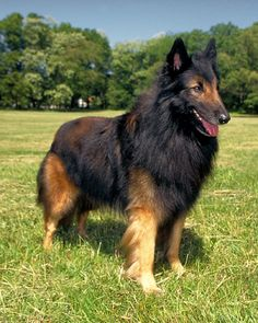 Belgian Tervuren one of the Herding Breeds.  There are 3 Belgian sheepdogs with the same build but 3 different coat types....Terve / Malenois / and the black sheepdog  Thats my bear! Except he is like 3x bigger.