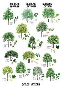 Plakat med Nordens løvtræer Trees from the north