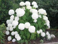 HYDRANGEA arborescens 'Annabelle' Hydrangea Arborescens Annabelle, Vegetables, Veggies, Vegetable Recipes