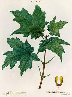 Janinet -- Acer saccharinum, Erable a sucré -- Trees and Leaves -- RHS Prints