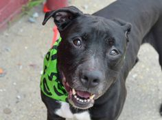 ~~SWEET 7 YR OLD SENIOR TO BE DESTROYED 7/24/14~~ Brooklyn Center -P My name is CAPONE. My Animal ID # is A1005928. I am a male black and white pit bull mix. The shelter thinks I am about 7 YEARS old. I came in the shelter as a OWNER SUR on 07/08/2014 from NY 11368, owner surrender reason stated was OWNER SICK.