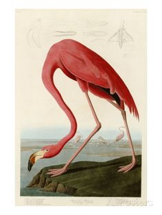 American Flamingo Giclee Print by John James Audubon - AllPosters.ca