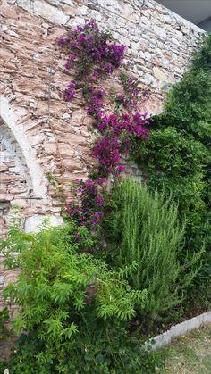Bouqainvillea, selber gezogen Innsbruck, Sidewalk, Plants, Sidewalks, Plant, Pavement, Walkways, Planting, Planets