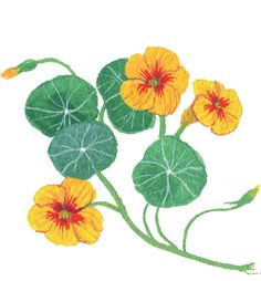 Nasturtiums are pretty, but I prefer the flavor of the crisp flower stems, which have a subtle sweetness, and the succulent leaves, which have more intensity. Use as you would arugula. (Illustration: Becca Stadtlander)