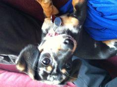 My Chiweenie, Jasper